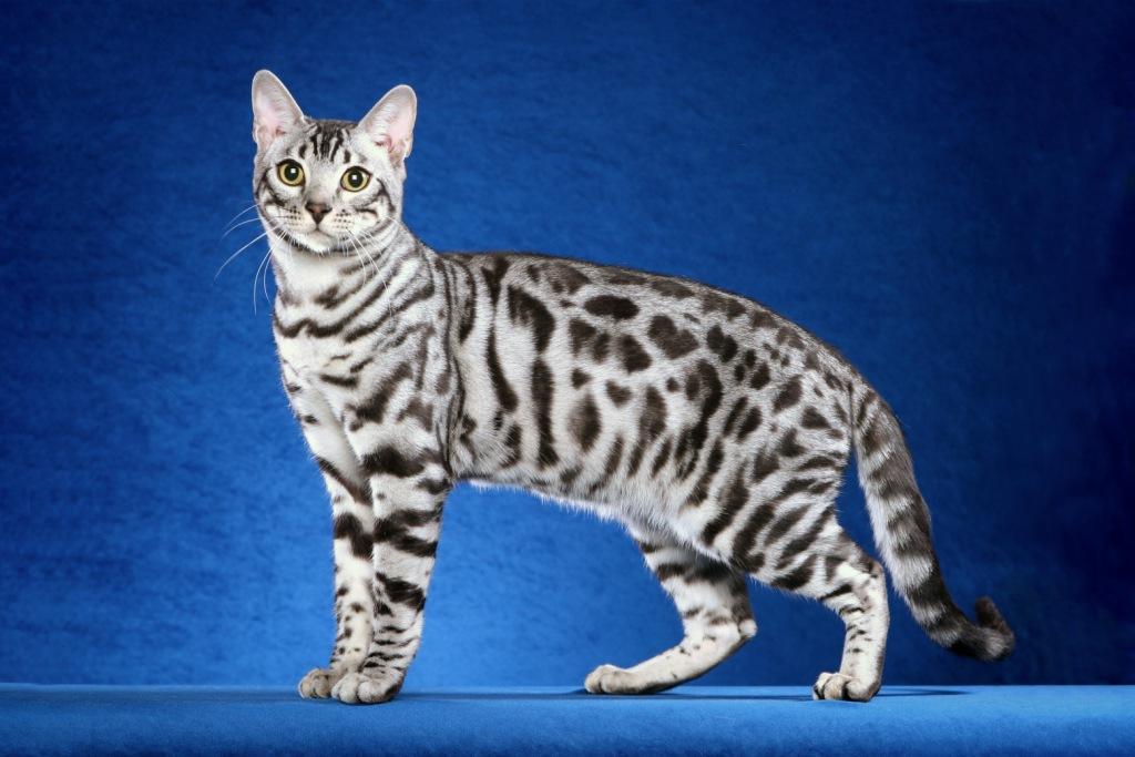 Farben und zeichnungen - Chat type leopard ...
