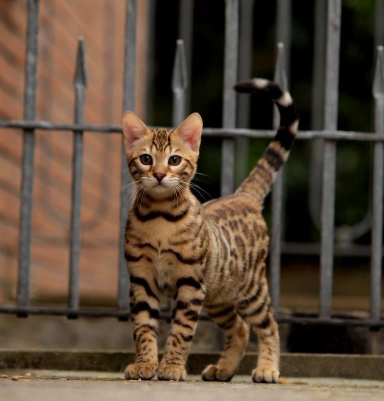 Leopardcats BengalkatzenBengalenBengalzuchtHaltung Von